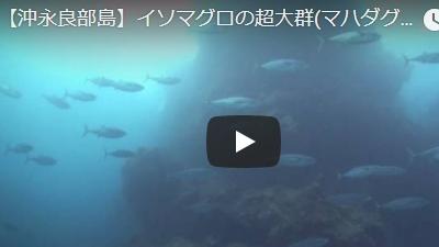 沖永良部島のダイビング動画マハダグミ