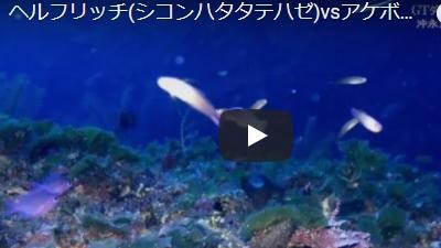 沖永良部島のダイビング動画ヘルフリッチvsアケボノハゼ