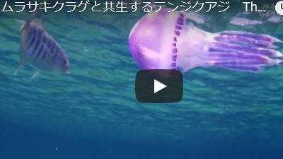 沖永良部島のダイビング動画ムラサキクラゲ