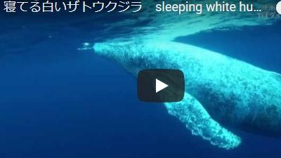 沖永良部島のダイビング動画寝てるザトウクジラ