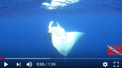 沖永良部島のダイビング動画マンタ