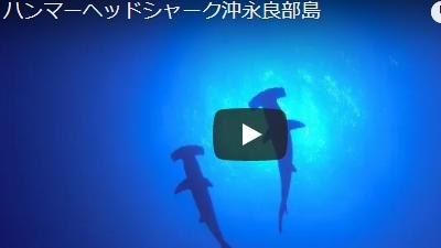 沖永良部島のダイビング動画ハンマーヘッドシャーク