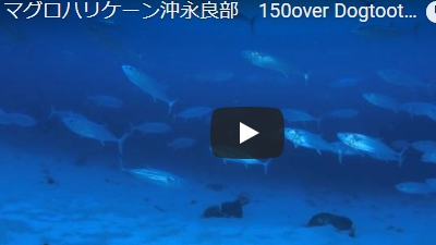 沖永良部島のダイビング動画イソマグロハリケーン