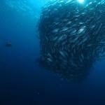 ギンガメアジとアオウミガメ